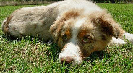 Rio the Australian Shepherd Pictures 84714