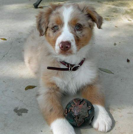 Rio the Australian Shepherd Pictures 84715