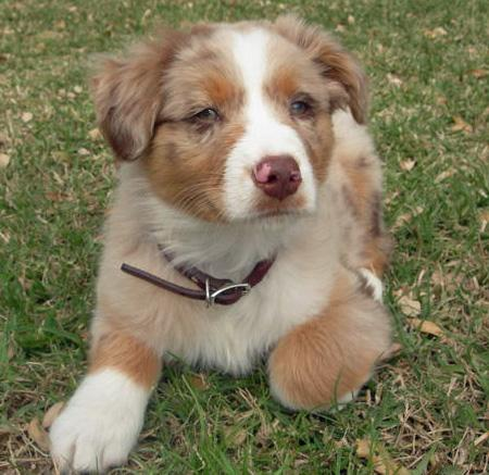 Rio the Australian Shepherd Pictures 84711