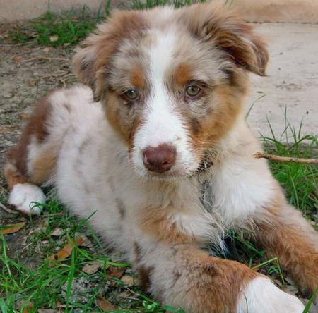 Rio the Australian Shepherd Pictures 84712