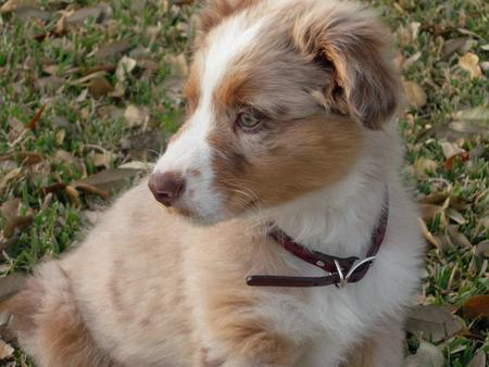 Rio the Australian Shepherd Pictures 84709