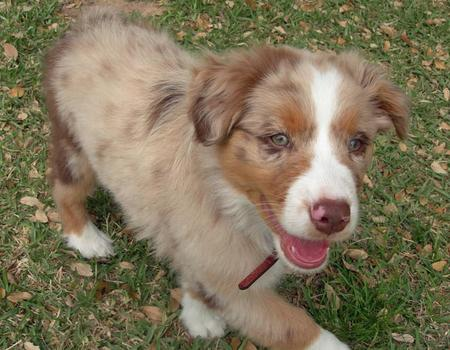 Rio the Australian Shepherd Pictures 84710