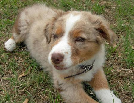 Rio the Australian Shepherd Pictures 84708