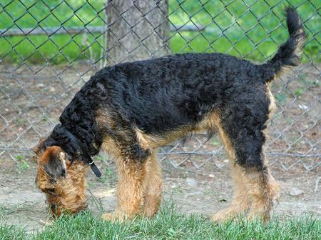 Cash the Airedale Pictures 84945