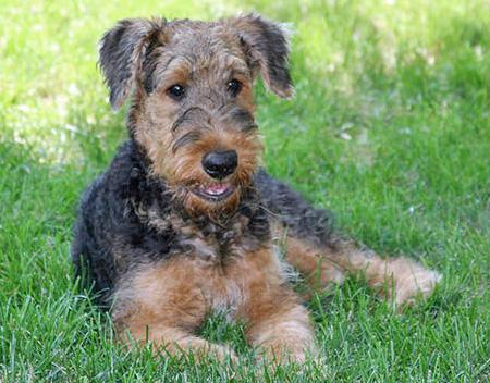 Cash the Airedale Pictures 84950