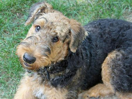 Cash the Airedale Pictures 84948