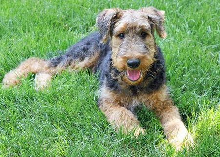 Cash the Airedale Pictures 84947