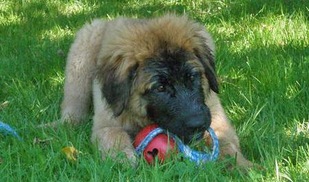 Bella the Leonberger  Pictures 87034