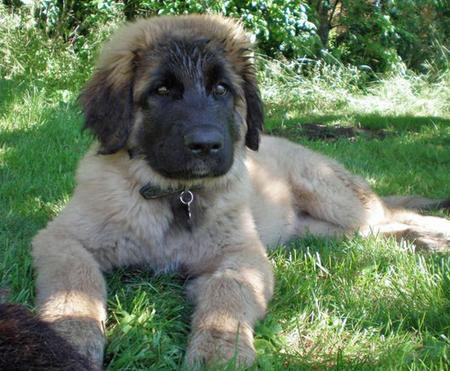 Bella the Leonberger  Pictures 87029