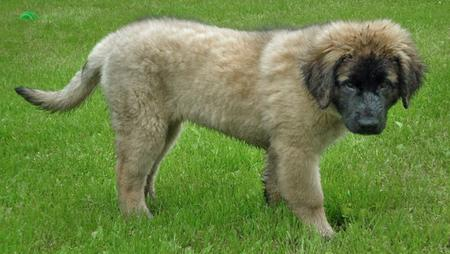Bella the Leonberger  Pictures 87028