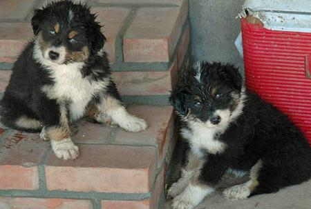 Laylie and Midna the Australian Shepherds Pictures 85715