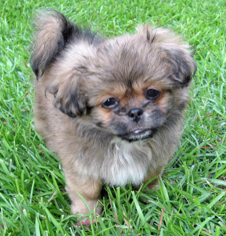Yogi the Pekingese Mix Pictures 87626