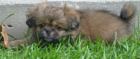 Yogi the Pekingese Mix Pictures 87625