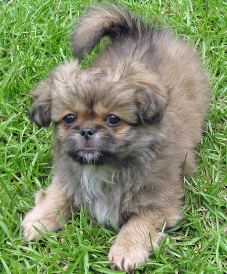 Yogi the Pekingese Mix Pictures 87627