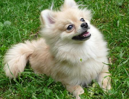 Puff the Pomeranian Pictures 177806