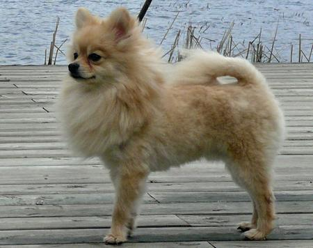 Puff the Pomeranian Pictures 177801