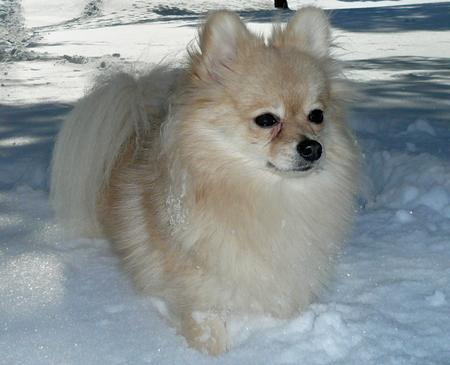 Puff the Pomeranian Pictures 177800