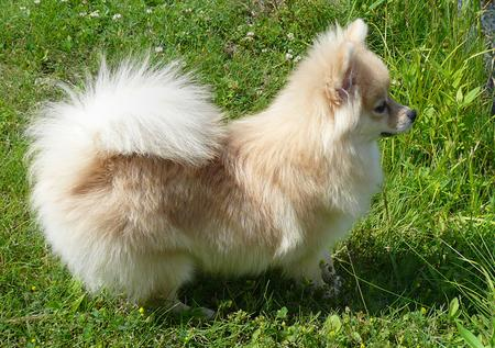 Puff the Pomeranian Pictures 177798