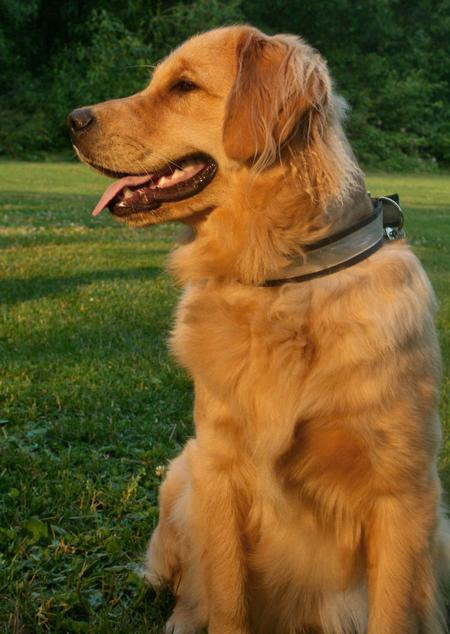 Parker the Golden Retriever Pictures 112987