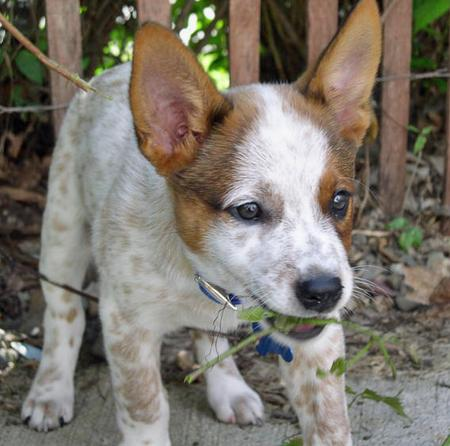 Axel the Australian Cattle Dog Mix Pictures 92087