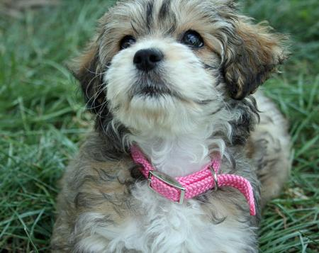 Bella the Lhasa / Poodle Mix Pictures 95981