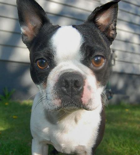 Bonkers the Boston Terrier Pictures 96882