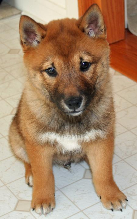 Rusty the Shiba Inu  Pictures 162547
