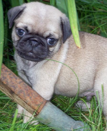 Romeo the Pug Pictures 120264
