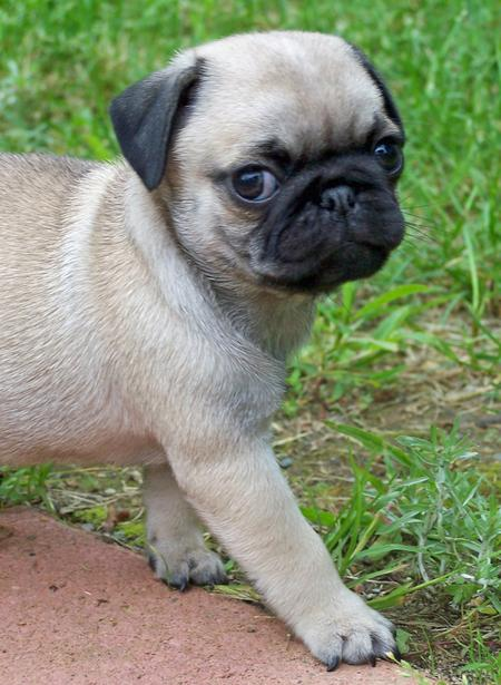 Romeo the Pug Pictures 120262