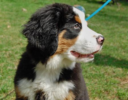 George the Bernese Mountain Dog Pictures 99823