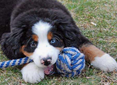 George the Bernese Mountain Dog Pictures 99821