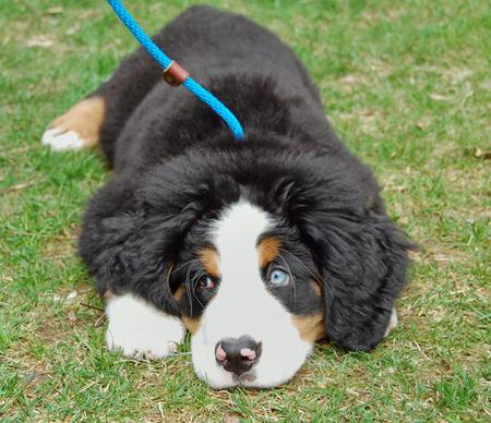 George the Bernese Mountain Dog Pictures 99826