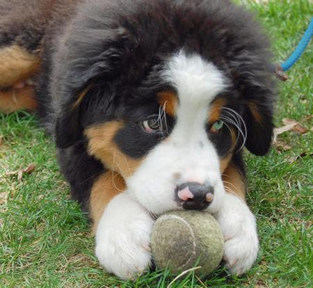 George the Bernese Mountain Dog Pictures 99819