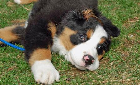 George the Bernese Mountain Dog Pictures 99818