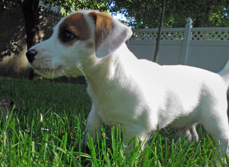 Milo the Jack Russell Terrier Pictures 119100