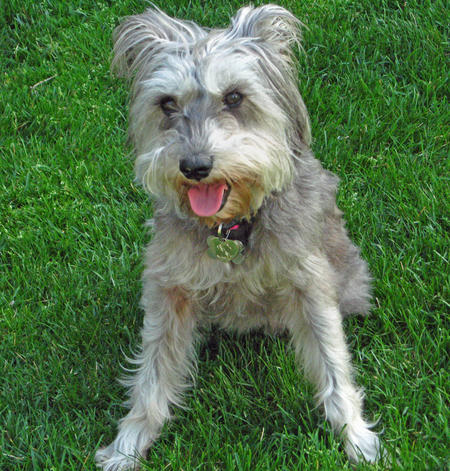 Yankee Rose the Schnauzer Pictures 106754