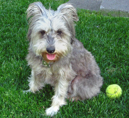 Yankee Rose the Schnauzer Pictures 106752