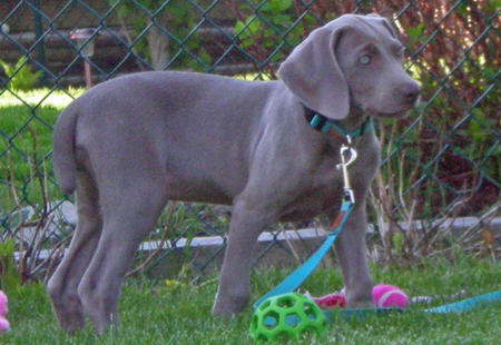 Ella the Weimaraner Pictures 168380