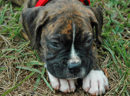 Snickers the Boxer Pictures 103090