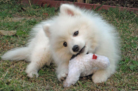Yuki the Japanese Spitz Pictures 107667