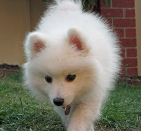 Yuki the Japanese Spitz Pictures 107666