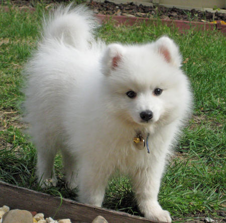 Yuki the Japanese Spitz Pictures 107664