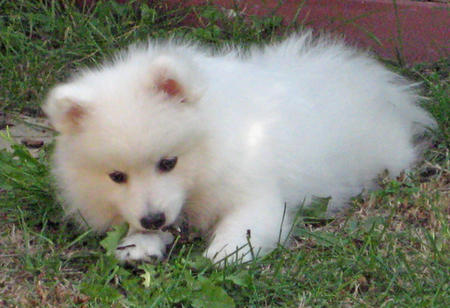 Yuki the Japanese Spitz Pictures 107661