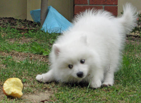 Yuki the Japanese Spitz Pictures 107663