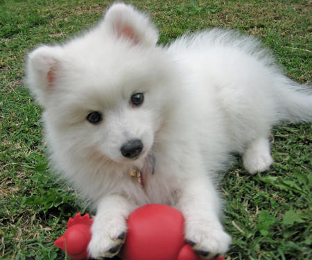 Yuki the Japanese Spitz Pictures 107662