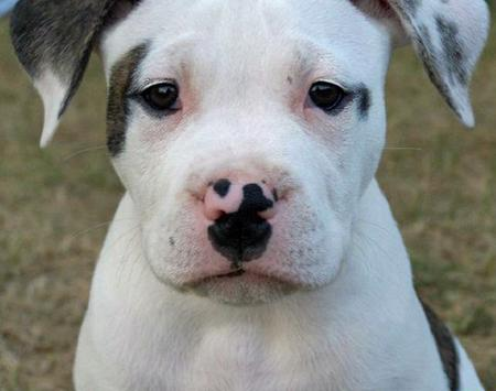 Dozer the Bulldog Pictures 116511