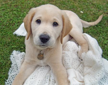 Wilfred the Labrador Retriever Pictures 106967