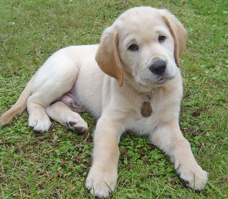 Wilfred the Labrador Retriever Pictures 106963