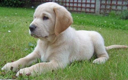 Wilfred the Labrador Retriever Pictures 106961