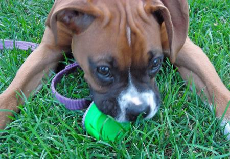 Tyson the Boxer Pictures 106344
